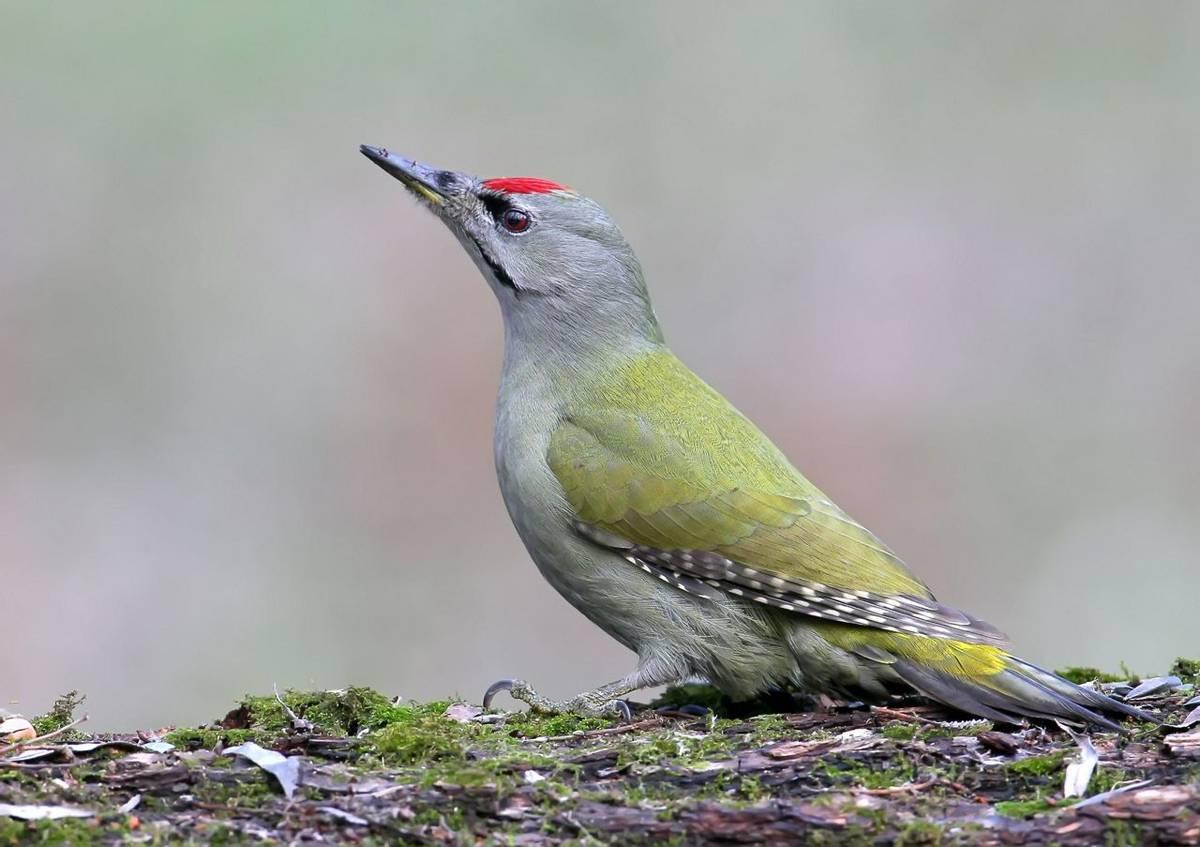 Grey Headed Woodpecker Shutterstock 677683246