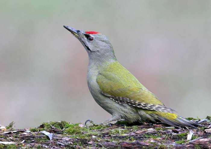 Grey Headed Woodpecker Shutterstock 677683246