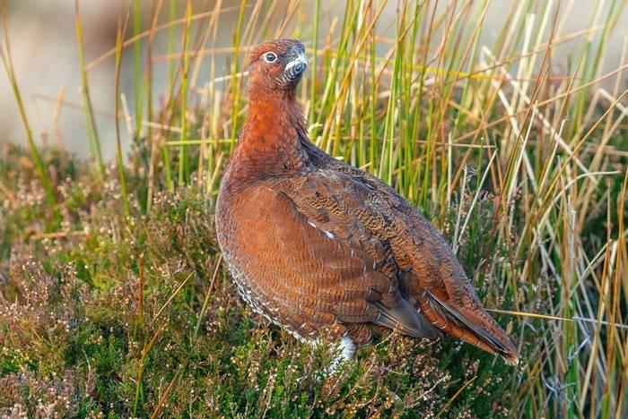Red-Grouse,-UK-shutterstock_1234573210.jpg