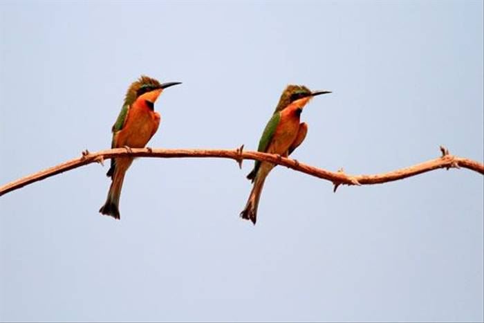 Little Bee-eaters (Bret Charman)