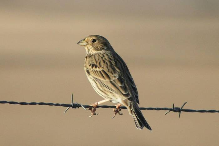 Corn Bunting  (Tom Mabbett)