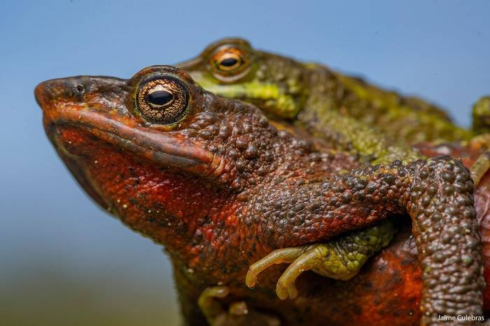 San Lorenzo Stubfoot Toad (Atelopus laetissimus) - Jaime Culebras