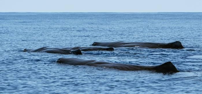 Sperm Whale Pod, Azores Shutterstock 7548102374