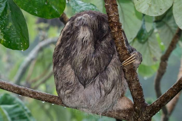 Soggy Three-toed Sloth (Ian Talboys)