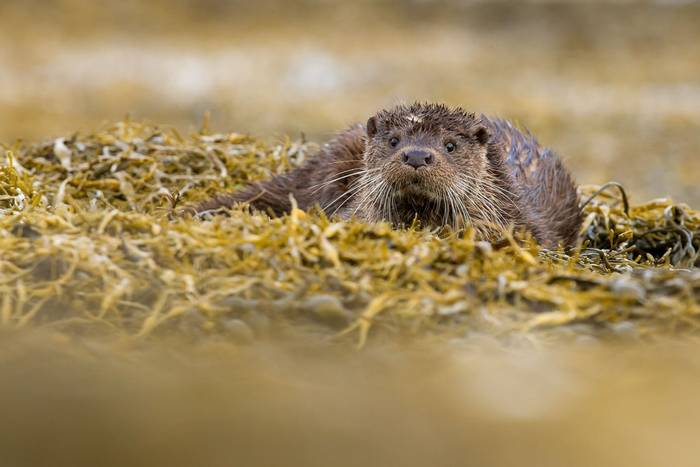 European Otter shutterstock_157171838.jpg
