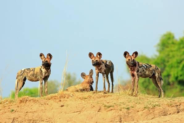 African Wild Dog, Botswana Shutterstock 763875031