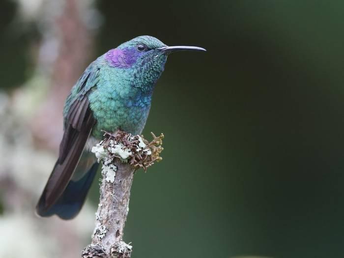 Green Violetear Hummingbird (Kevin Elsby)