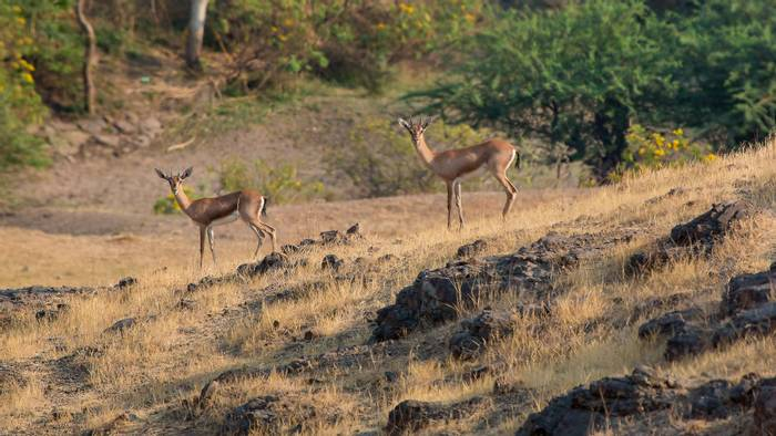 Indian Gazelles, Bandhavgarh National Park, India shutterstock_617640584.jpg
