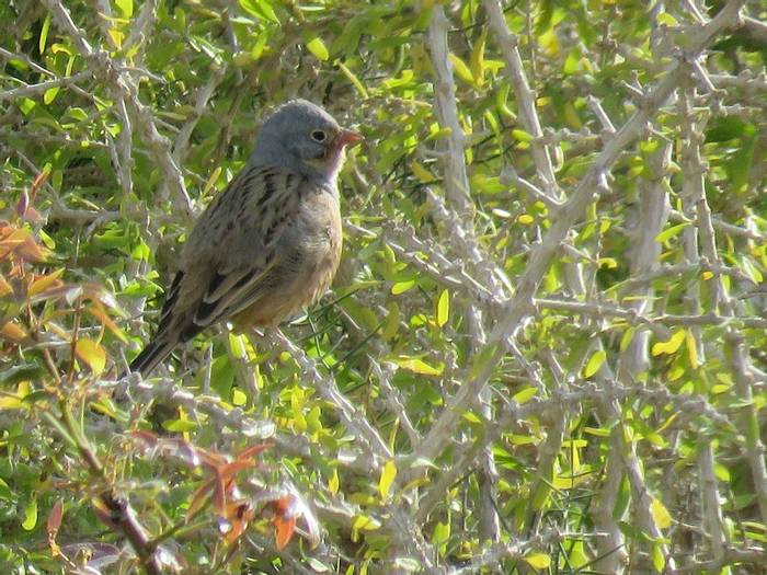 Cretzschmar's Bunting, Paphos archaeological site (Heather Osborne)
