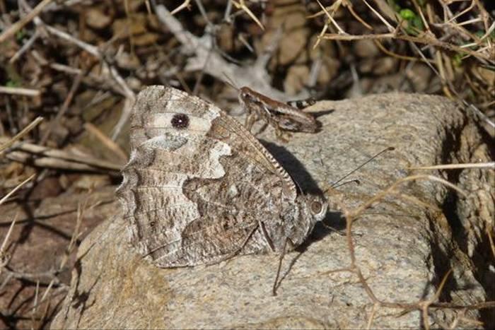 Cretan Grayling and grasshopper