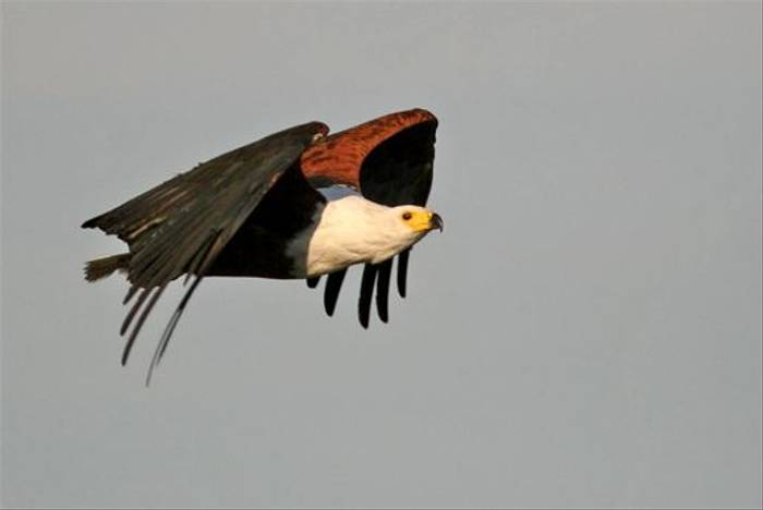 African Fish Eagle (Grant Atkinson)