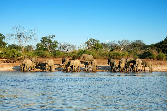 Elephants at Chobe River