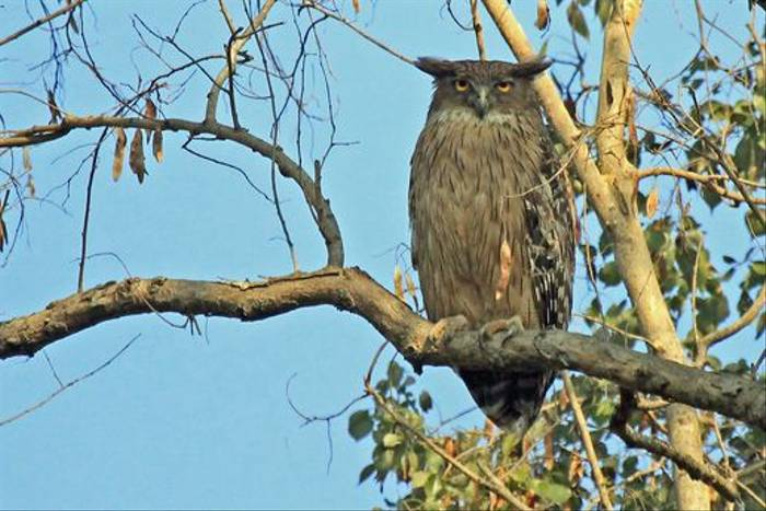 Brown Fish Owl (Janice Fiske)