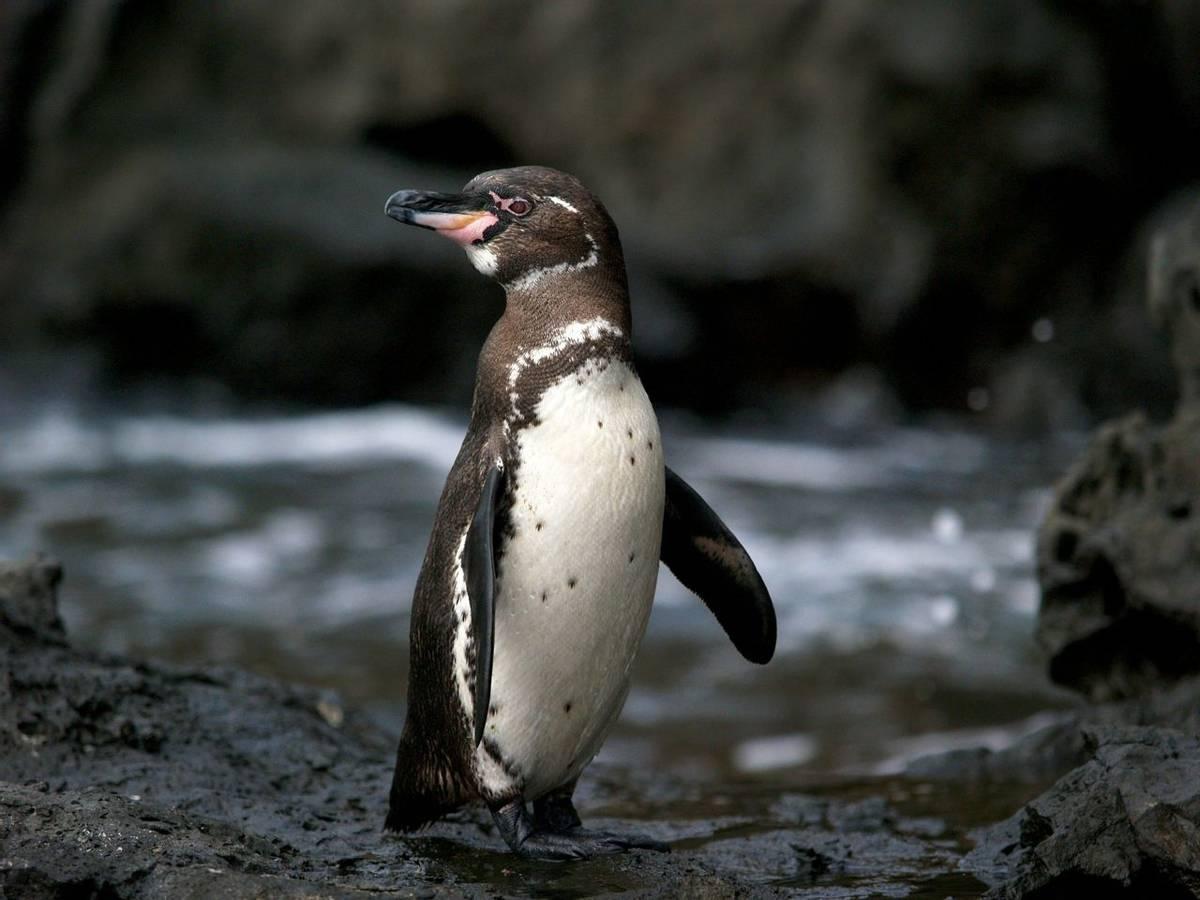 Galapagos Penguin Shutterstock 63836320
