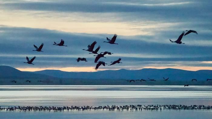 Common Cranes (Chris Piper)