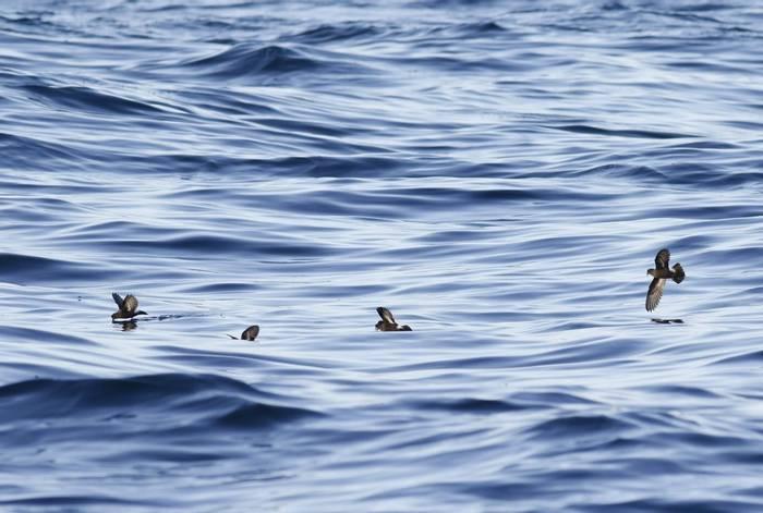 European Storm-Petrels (Matt Eade).jpg