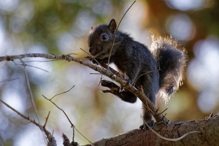 Young Grey Squirrel (Martin Potter)