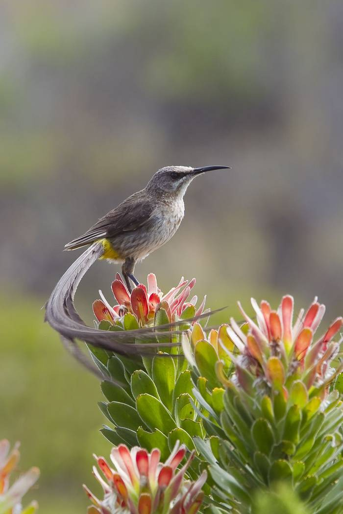 Cape Sugarbird. Shutterstock 174645377