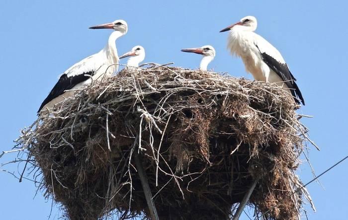 Ciconia ciconia - White Stork family (Alan Outen)