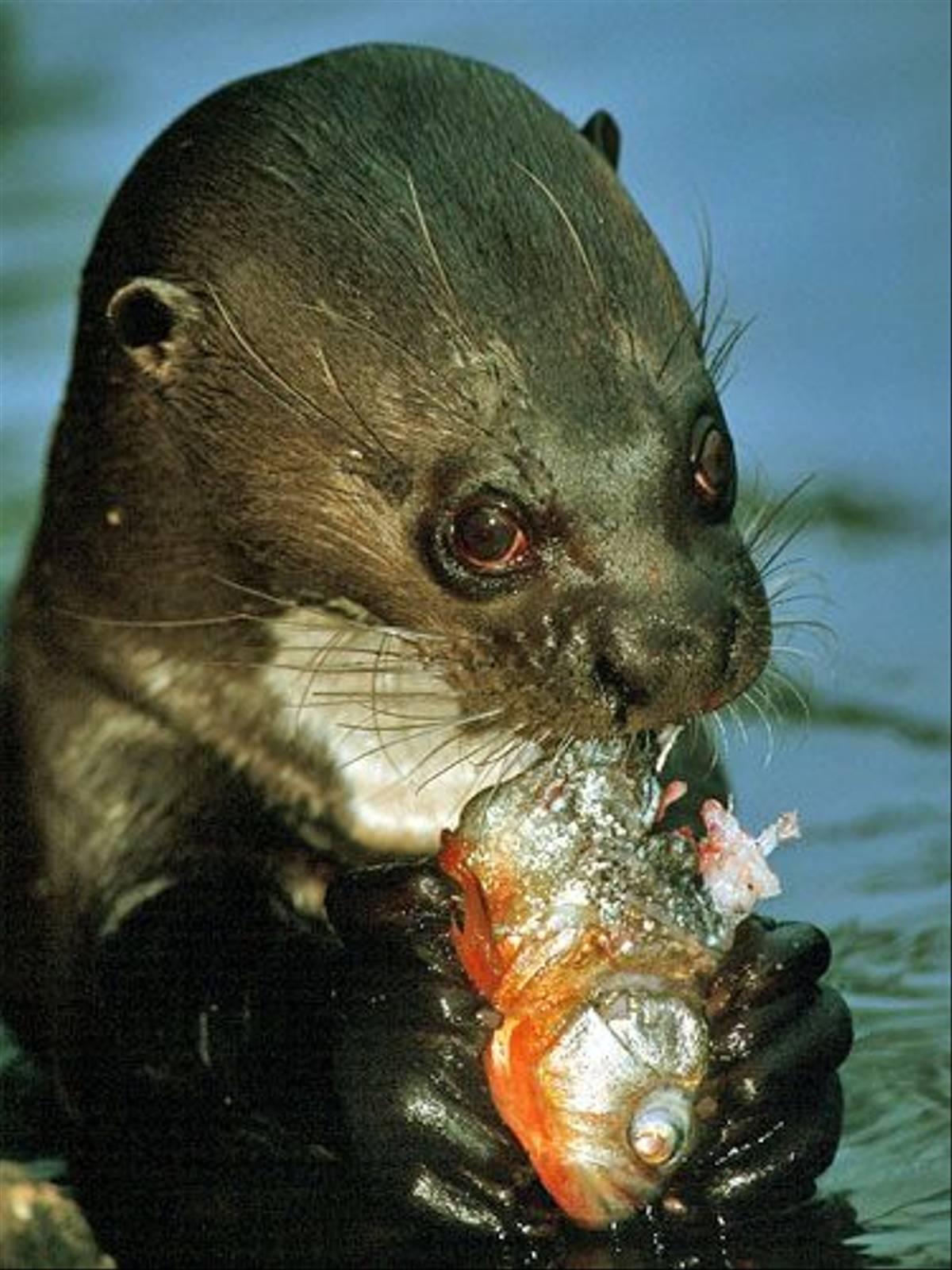 Otter eating Piranha