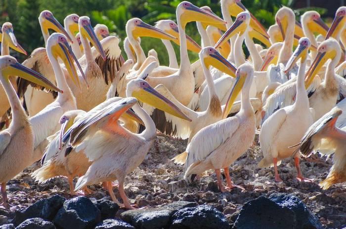 Great White Pelican, Lake Tana, Ethiopia shutterstock_1574431750.jpg
