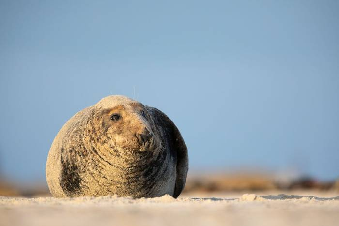 Grey Seal shutterstock_1404609767.jpg