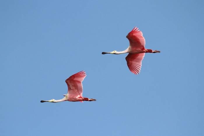 Roseate Spoonbills, Florida (Steve Byland).jpg