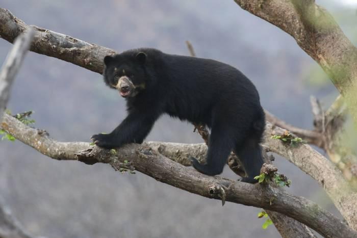 Spectacled Bear (Andrew Lapworth).jpg