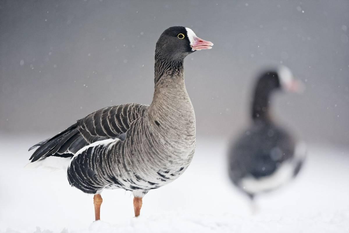 Lesser white-fronted goose. shutterstock_142023061.jpg