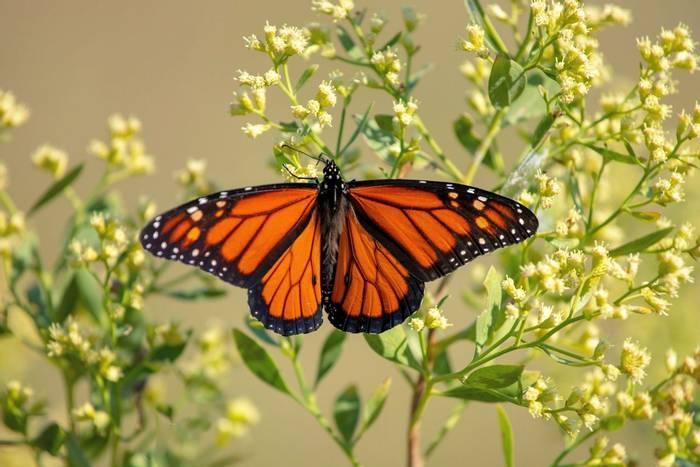 Monarch-butterfly,-USA-shutterstock_1222105090.jpg