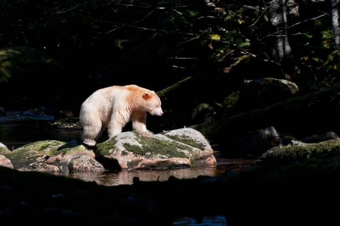 20 Spirit Bear (Paul Stanbury).jpg