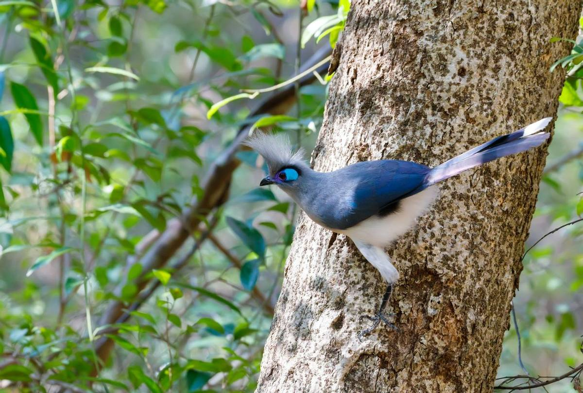 Crested Coua Shutterstock 558380824