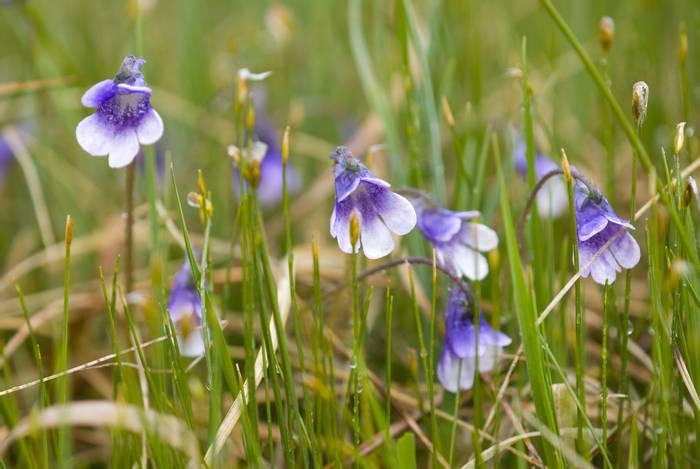 Pinguicula vulgaris (Butterwort) England shutterstock_54012448.jpg