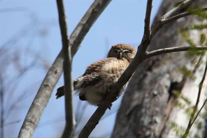 Cuban Pygmy Owl (Steve Wakeham)