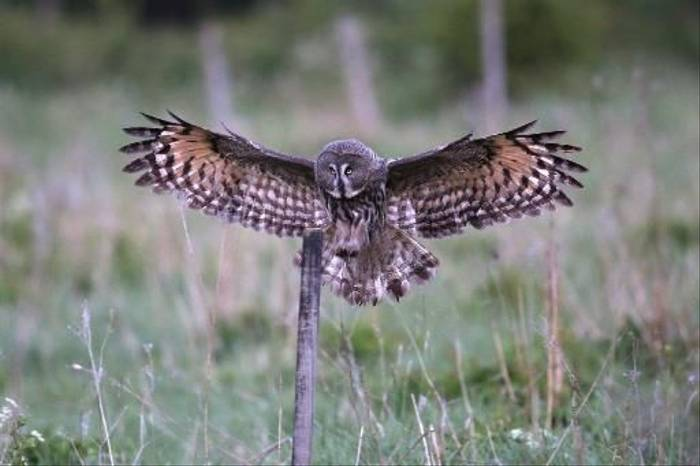 Great Grey Owl (Gordon Small)