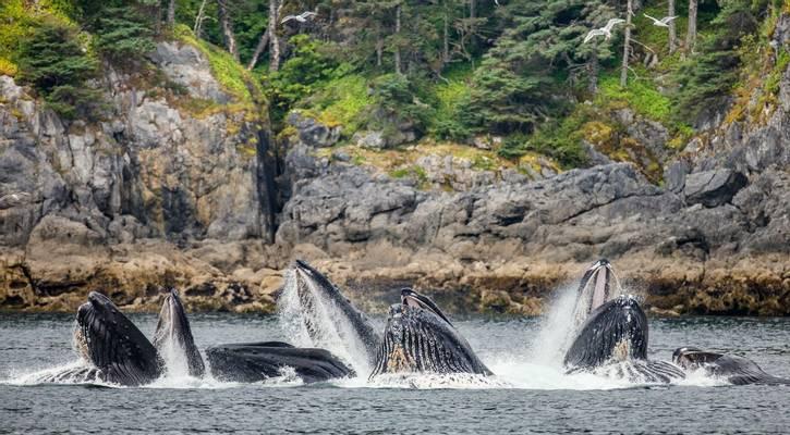 Humpback Whales Bubble Feeding, Alaska Shutterstock 537838549