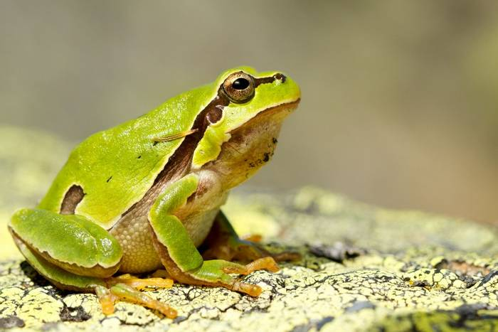 European Tree Frog, Greece_shutterstock_1299775954.jpg