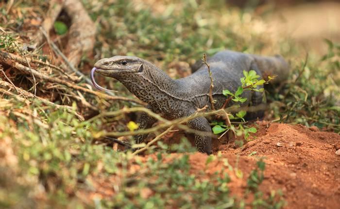 Bengal Monitor Lizard, India shutterstock_231630568.jpg