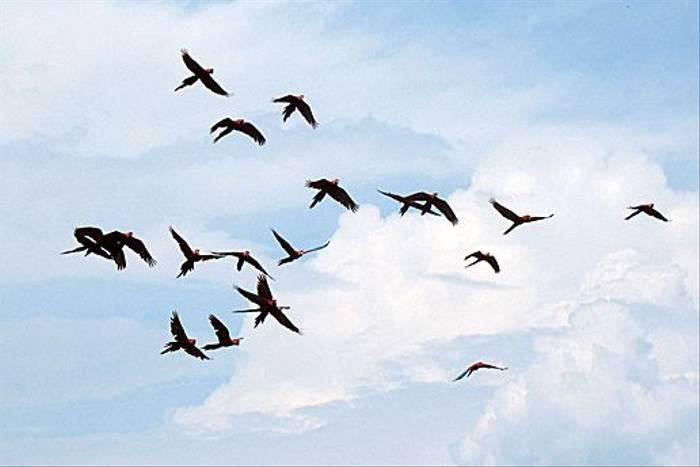 Macaws in flight (Kiera Griffin)
