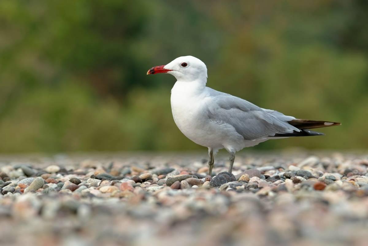 Audouin's Gull shutterstock_1836762046.jpg