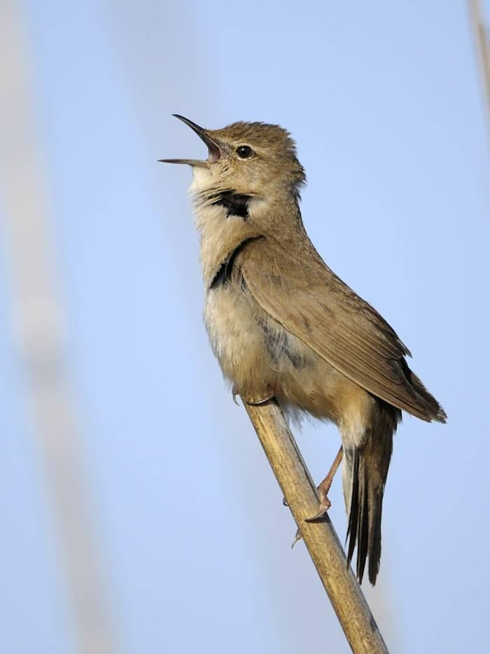 Savi's warbler. shutterstock_166005128.jpg
