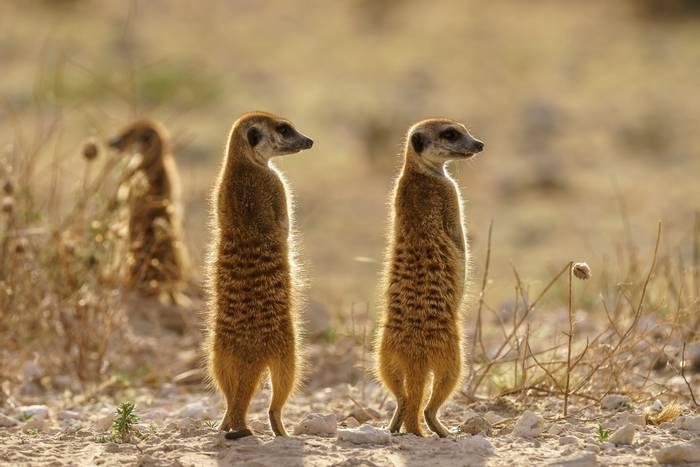 Meercats, Botswana shutterstock.jpg