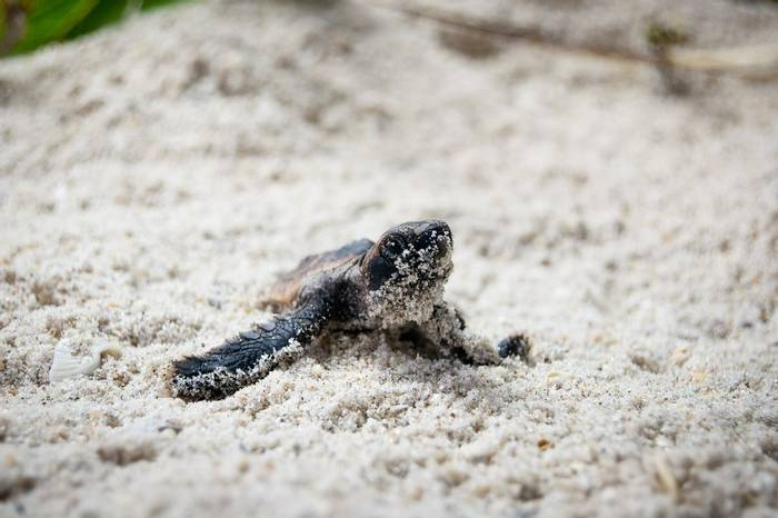 Sea Turtle Hatching, Costa Rica shutterstock_83530882.jpg