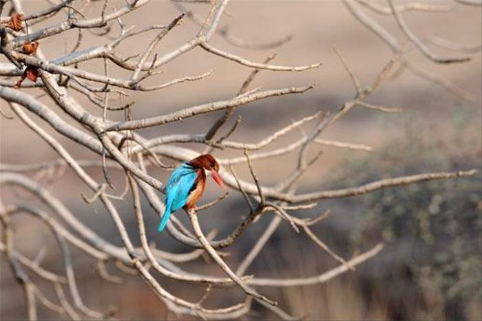 White-throated Kingfisher (Peter Johnson)