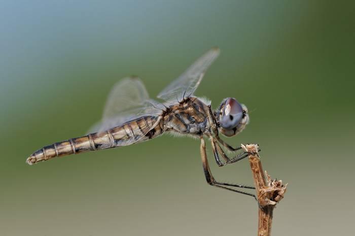 Black Pennant, dragonfly, Spain shutterstock_143440489.jpg