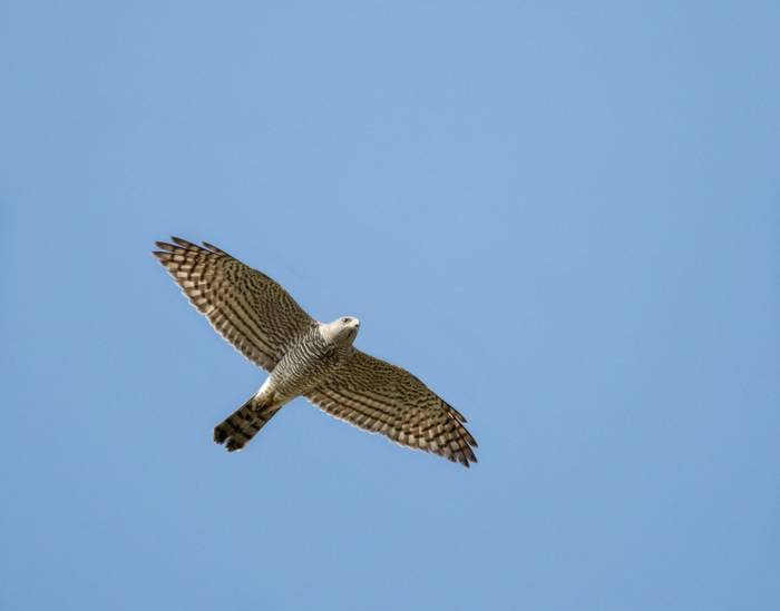 Levant Sparrowhawk shutterstock_413389654.jpg