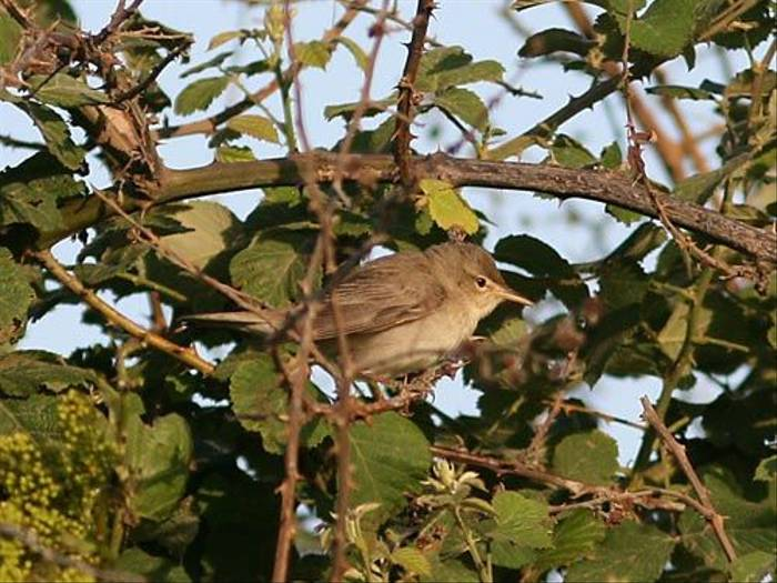Eastern Olivaceous Warbler (Peter Dunn)