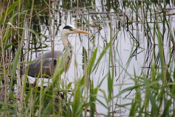 Grey Heron (Ed Drewitt)