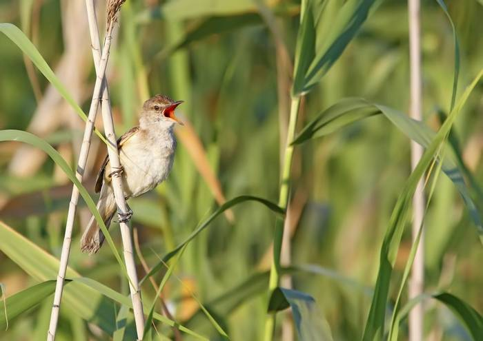 Great Reed Warbler Shutterstock 215105602