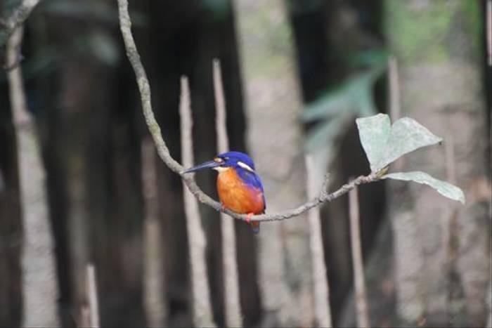 Azure Kingfisher (Phil Shaw)